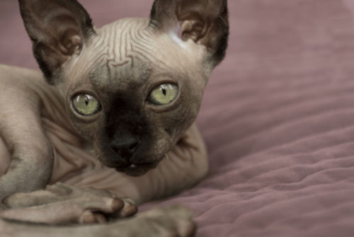 Facts about Sphynx cats only professional sphynx breeders can tell you
